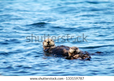Floating sea otter (mother with a last year's cub). Commander Islands - stock photo