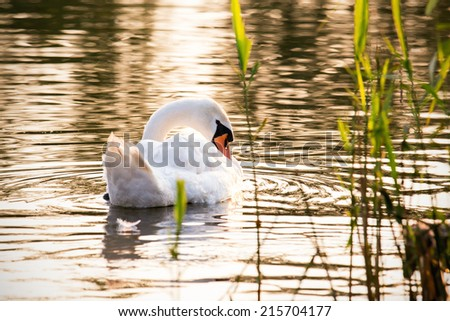 Floating swan taking care of its plumage - stock photo
