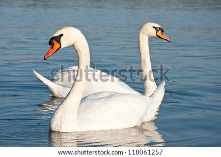 floating swans - stock photo