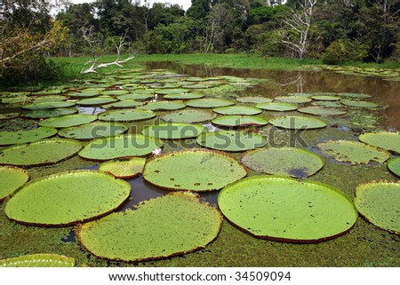 Floating Water lily leaves on pond in Amazon swamp - stock photo