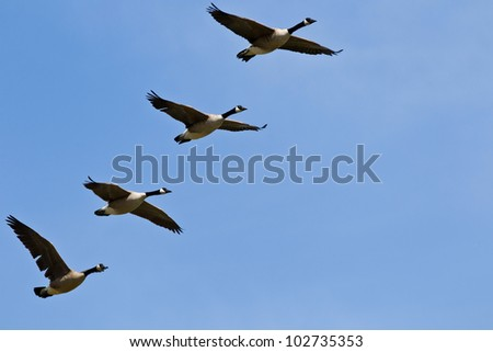 Flock adult Canada geese in flight. - stock photo