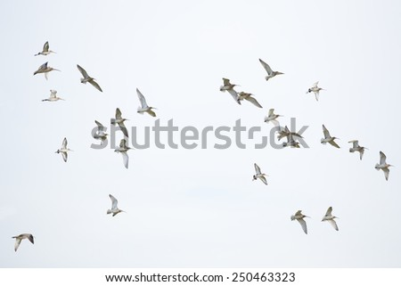 Flock of birds, curlew in flight - stock photo