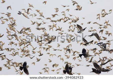 flock of birds flying, starling, rook, crow, pigeon - stock photo