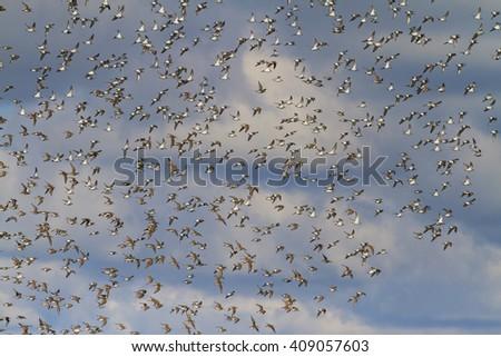flock of birds in a spring sky migration of birds, beautiful landscape - stock photo