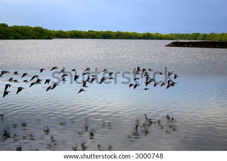 flock of birds over swamp - stock photo