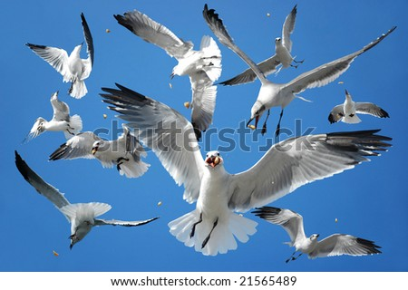 Flock of birds (seagulls) catching their food in the air - stock photo