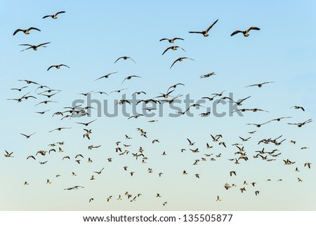 Flock of black-headed gulls in the evening sun on blue sky - stock photo