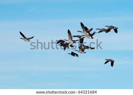 Flock of Canada Geese Against Blue Sky - stock photo