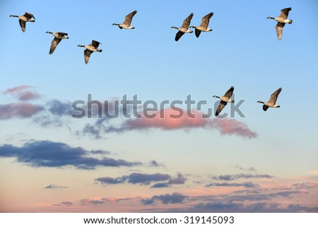 Flock of Canada Geese flying over a sunset sky - stock photo