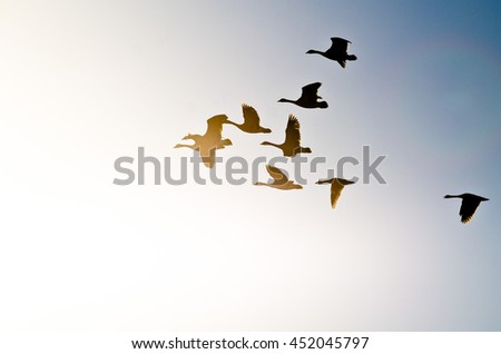 Flock of Canada Geese Silhouetted As They Fly into the Bright Sun - stock photo