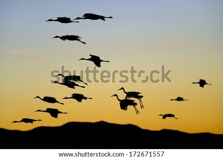 Flock of Cranes at Sunset   - stock photo