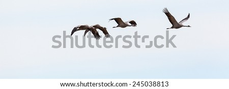 Flock of cranes flying in the sky at spring - stock photo