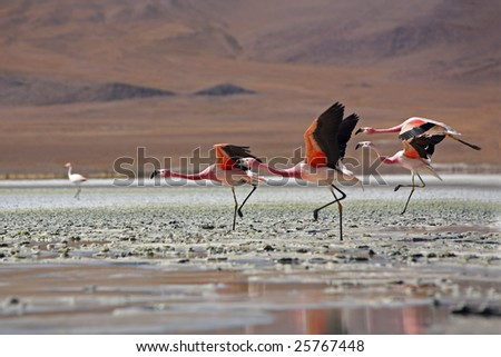 Flock of flamingos Bolivia - stock photo