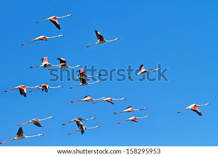 Flock of flamingos flying on blue sky background in Camargue nature reserve, France.  - stock photo