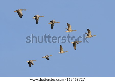 Flock of geese flying in V-formation - stock photo