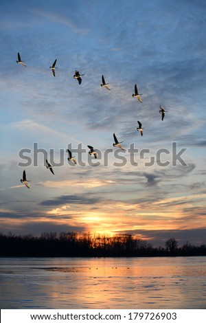 Flock of Geese Flying in V formation - stock photo