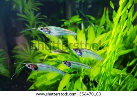 Flock of glass catfish in aquarium - stock photo