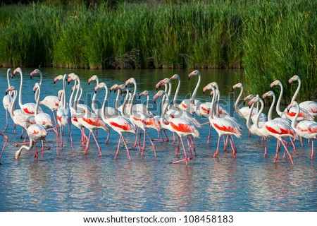 Flock of greater flamingoes (Phoenicopterus roseus) in Camargue National Park - Flamants Roses, Parc Naturel R�©gional de Camargue, Provence-alpes-c�´te d'azur, France - stock photo