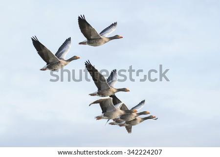 Flock of greylag geese in flight - stock photo