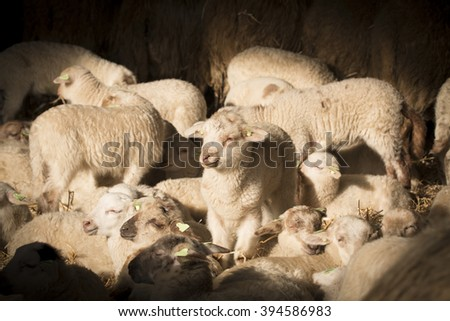 Flock of lambs and sheep in sunlight - stock photo