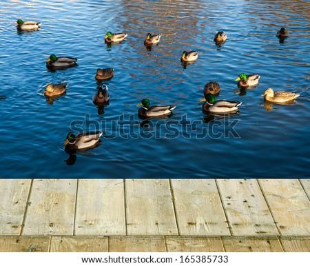 Flock of Mallard Ducks  Swimming in the Lake - stock photo
