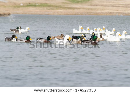 flock of mixed ducks - stock photo