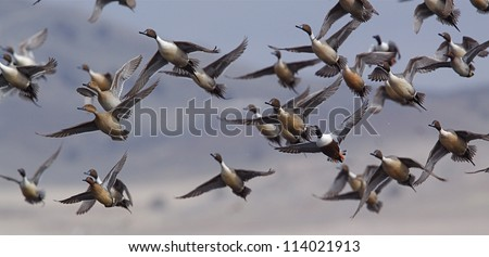 Flock of Northern Pintail Ducks with some Shovelers and Green-wing Teal mixed in, taking off on the flush; duck hunting; Klamath Falls Wildlife Refuge, on the California / Oregon border - stock photo