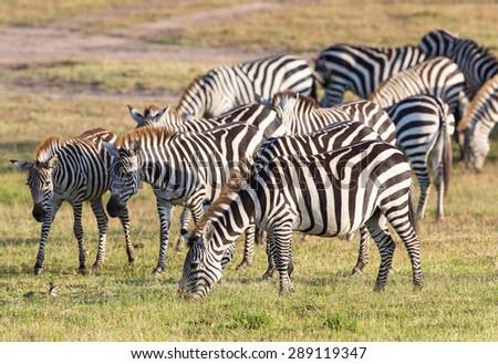 Flock of of Zebras grazing grass on the savannah - stock photo