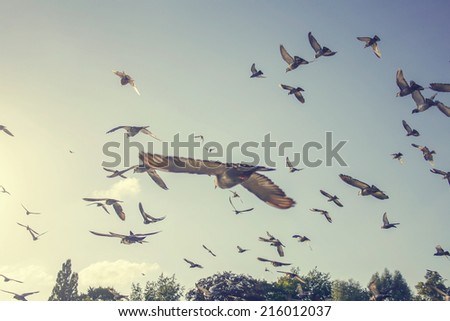 flock of pigeons flying in the air away from viewer - stock photo