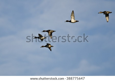 Flock of Ring-Necked Ducks Flying in a Blue Sky - stock photo