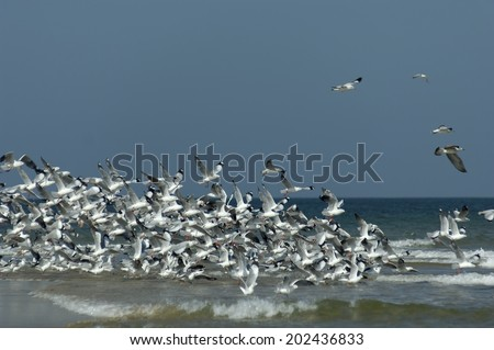 Flock of Sea gulls birds flying over sea beach , Malvan , Sindhudurga , Maharashtra , India. - stock photo