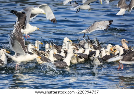 Flock of Seagulls snatch fish in the sea. - stock photo