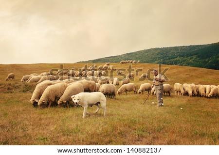 Flock of sheep and shepherd - stock photo