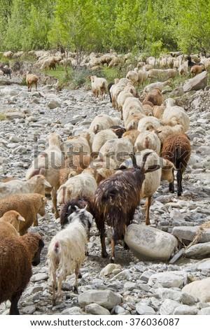 flock of sheep, goat, horns, leader, meadow, greens, trees, sheep, flock, lamb - stock photo