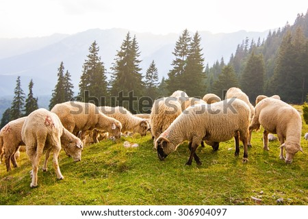 Flock of sheep grazing at the edge of pine forest - stock photo