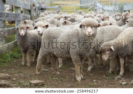 Flock of sheep in a wooden corral of a farm on Bleaker Island in the Falkland Islands - stock photo