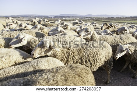 Flock of sheep in the field, detail of farm animals - stock photo
