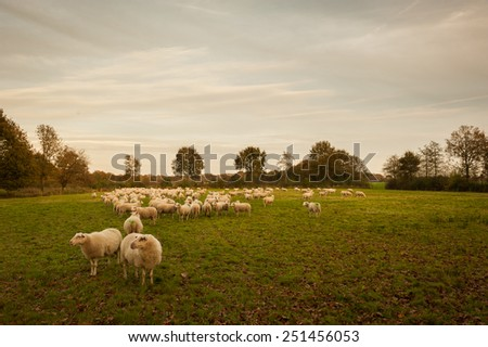 flock of sheep in the late evening sun - stock photo