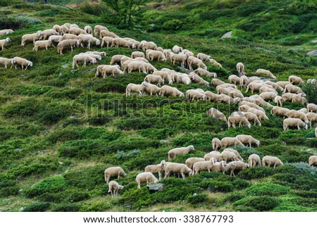 Flock of sheep on meadow - stock photo