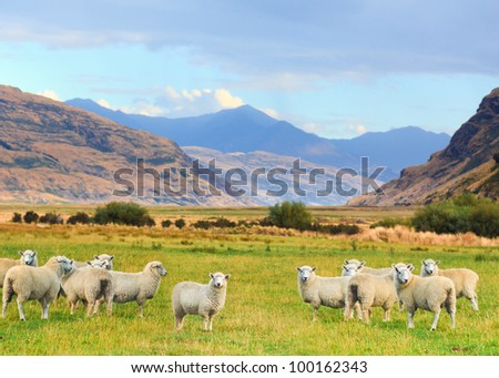 Flock of sheep on the meadow - stock photo