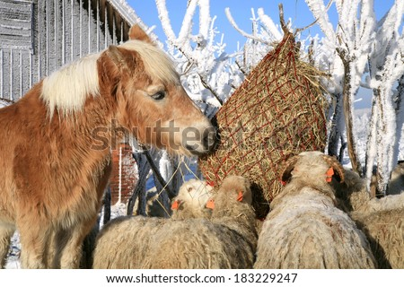 Flock of sheep skudde and horse haflinger eat the hay. Winter on the farm. - stock photo