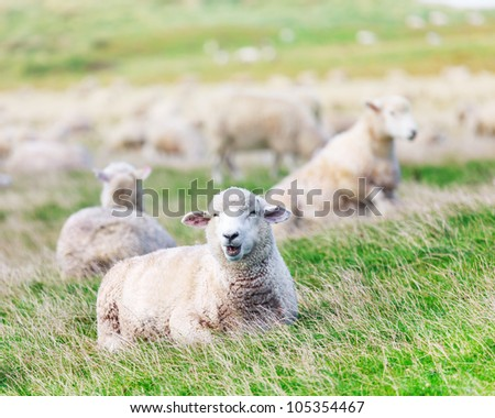 Flock of sheeps on the meadow - stock photo