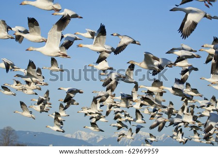 Flock of snow geese (Chen caerulescens) flying - stock photo