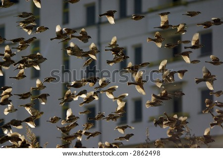 Flock of Sparrows - stock photo