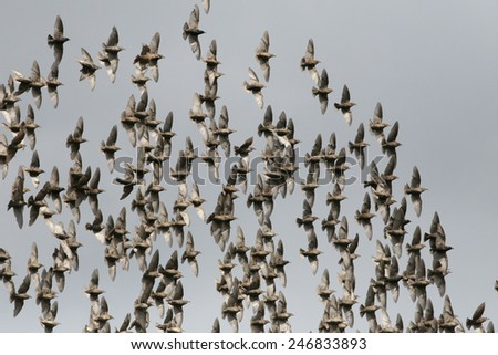 Flock of starlings flying in blue sky - stock photo