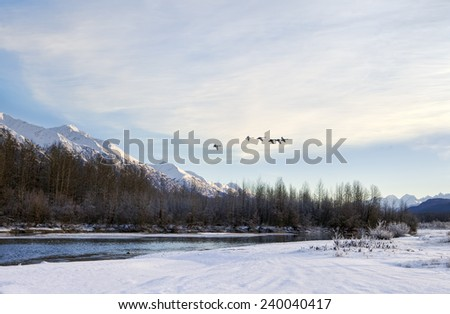 Flock of swans flying near the Chilkat River in Southeast Alaska in winter. - stock photo
