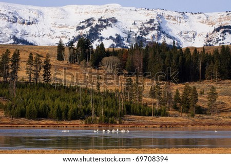 Flock of Trumpeter Swans rest on ice covered lake with snow capped mountains in the background. - stock photo