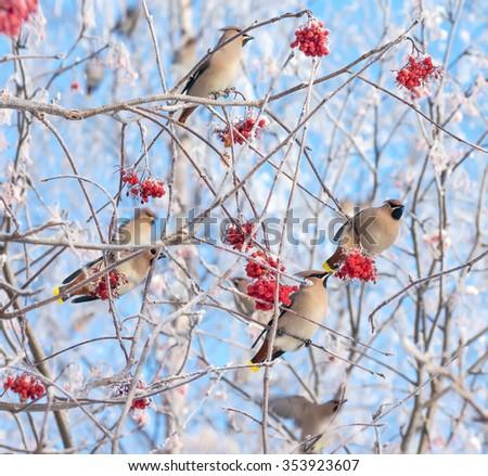 Flock of waxwings birds eat frozen rowan - stock photo