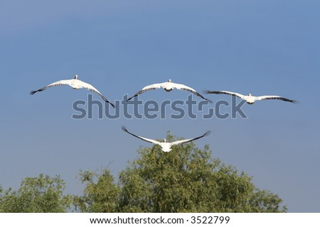 flock of white pelicans flying in the blue sky (pelecanus onocrotalus) - stock photo