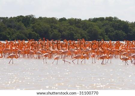 Flock of wild flamingos in Mexico - stock photo